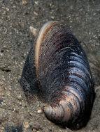 Ox-heart Clam - Glossus humanus