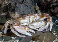 Marbled Swimming Crab - Liocarcinus marmoreus
