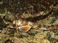 Tub Gurnard - Chelidonichthys lucernus
