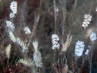 Nudibranch - Doto pinnatifida