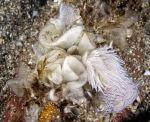 Nudibranch ---- Favorinus blianus
