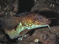 Shore Rockling - Gaidropsarus mediterraneus