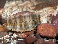 Queen Scallop - Chlamys opercularis