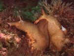Sea Hares mating - Aplysia punctata