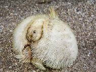 Sea Potato  Echinocardium cordatum