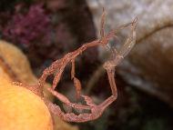 Skeleton Shrimps mating (?) - Caprella linearis
