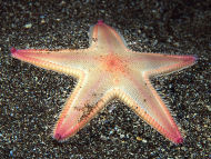 Sandstar-Astrospecten irregularis