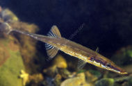Sea Stickleback - Spinachia spinachia