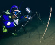 Tall Sea Pen - Funiculina quadrangularis