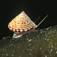 Painted Topshell - Calliostoma zizyphinum