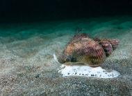 Common Whelk hunting - Buccinum undatum