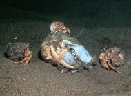 Common Whelk feeding - Buccinum undatum