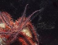 Brittlestar Spawning - Ophiothrix fragilis