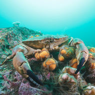Edible Crab ( Male ) ----- Cancer pagurus