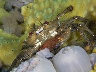 Velvet Swimming Crab - Liocarcinus puber