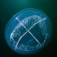 White-cross Jellyfish - Staurophora mertensi