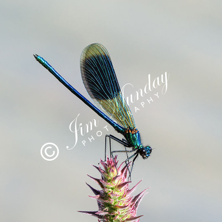 Banded Demoiselle on Purple Loosestrife