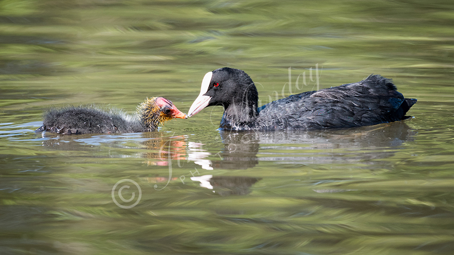 Coot Feeding Chick