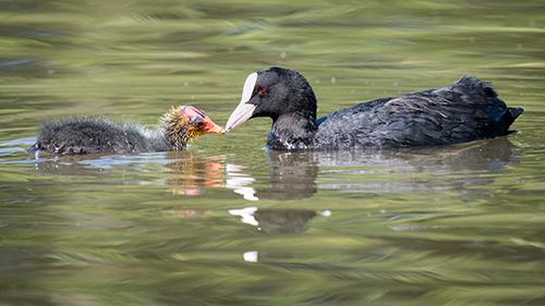 Coot Feeding Chick News