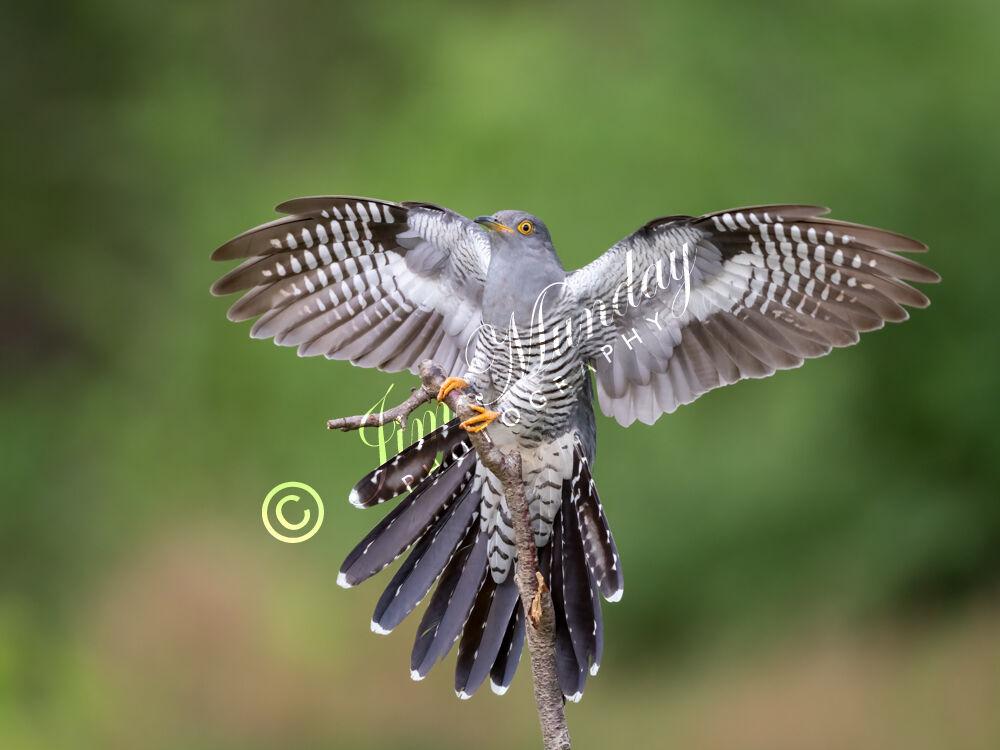 Cuckoo Landing 2