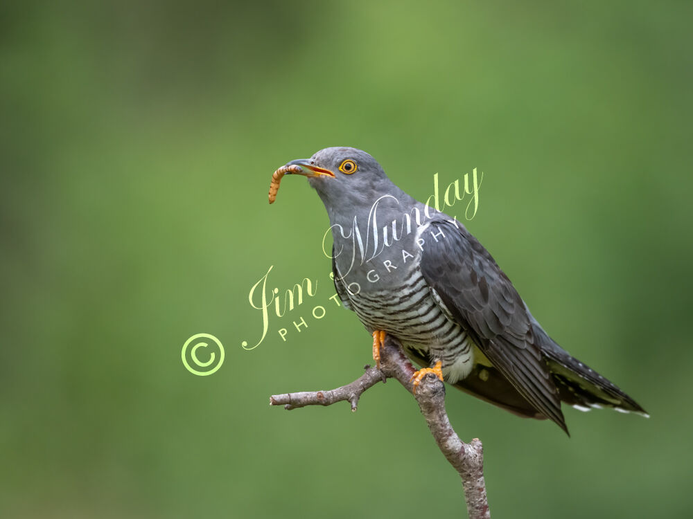 Cuckoo with Mealworm