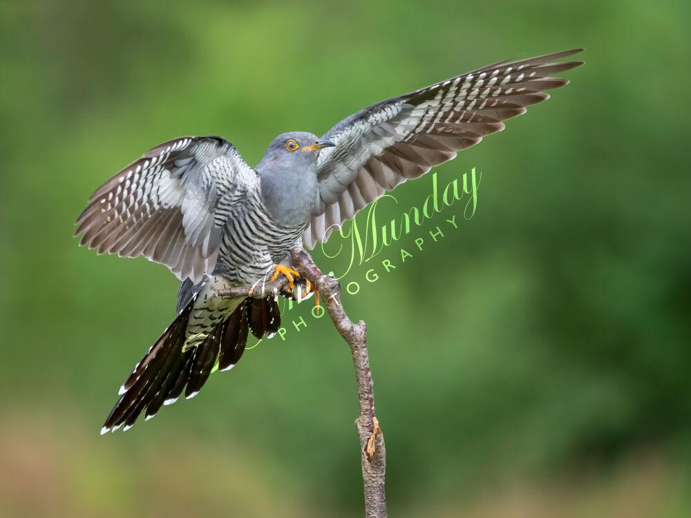 Cuckoo Landing 1