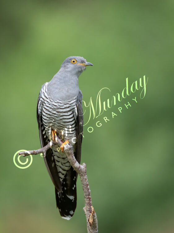 Cuckoo on Perch