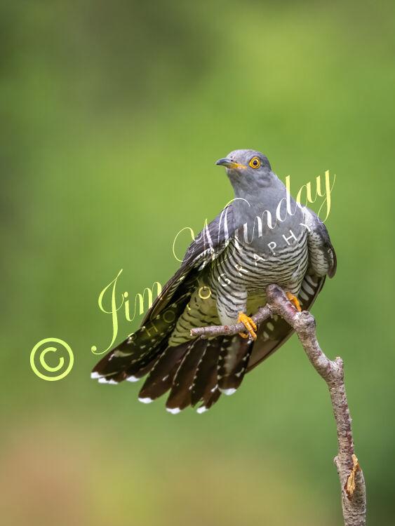Cuckoo on Perch 2