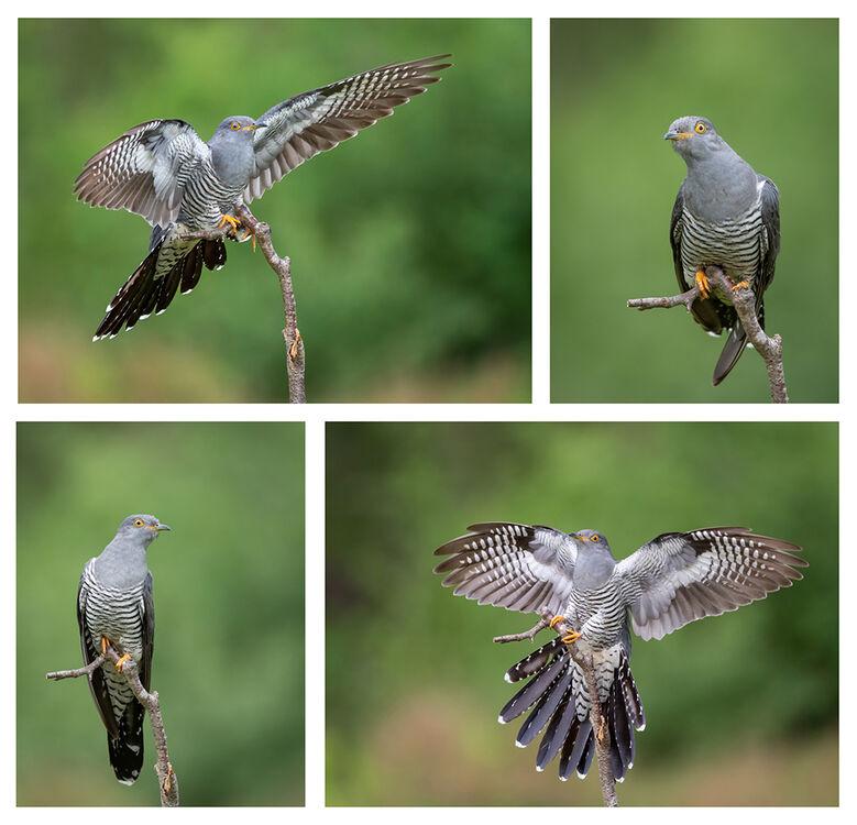 Cuckoo News