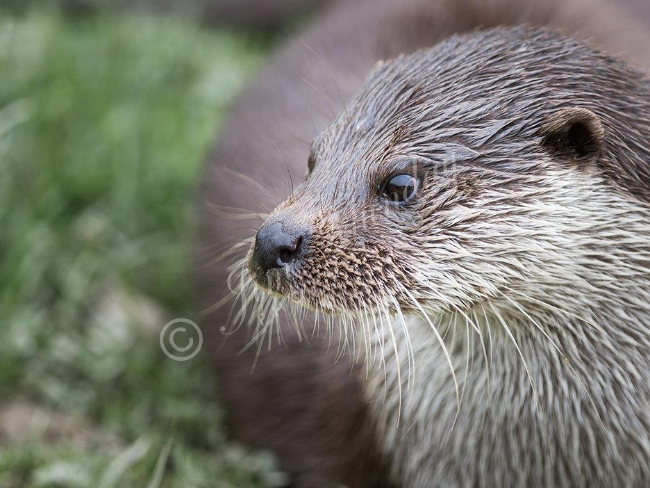 European Otter 3