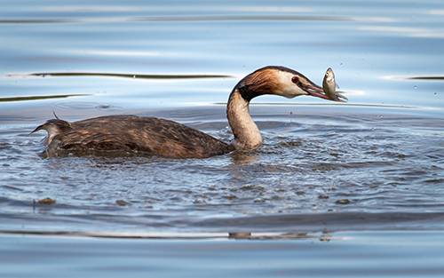 Great Crested Grebe with Catch News