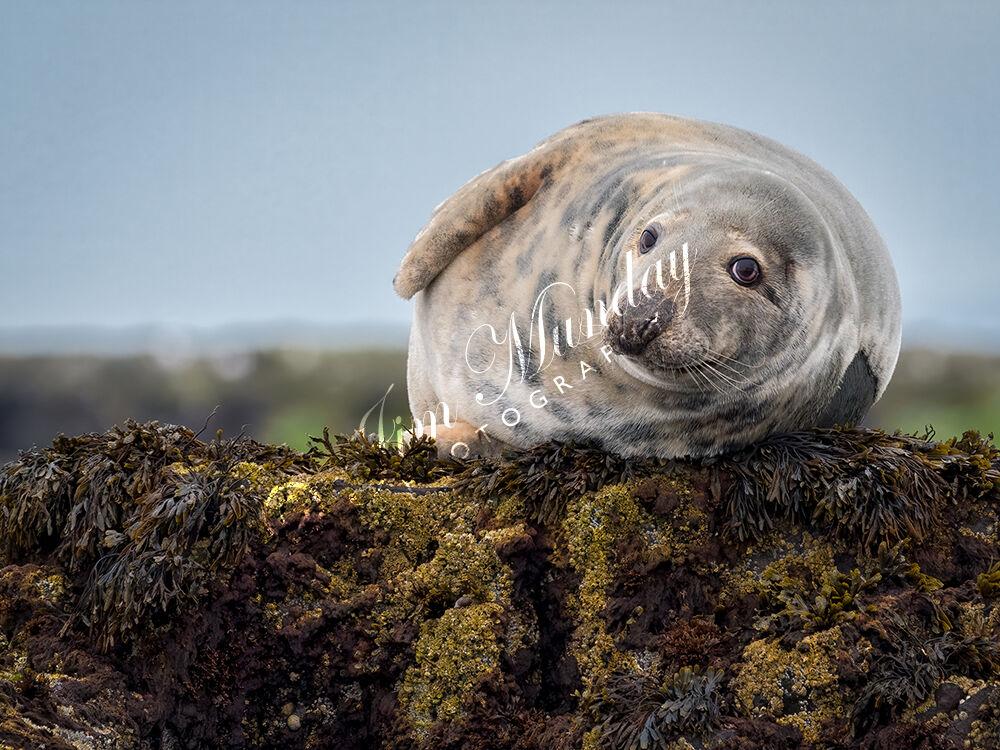 Grey Seal Farne Islands