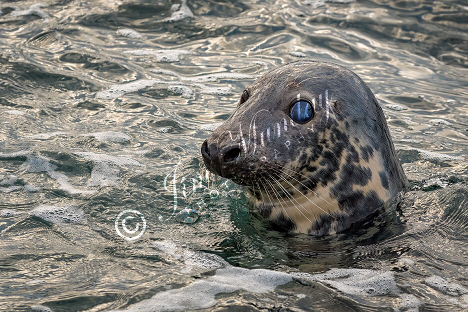 Grey Seal Surfacing