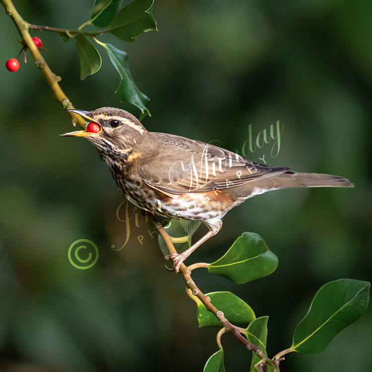 Redwing in Holly