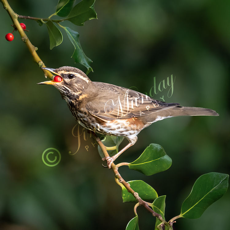 Redwing in the Holly