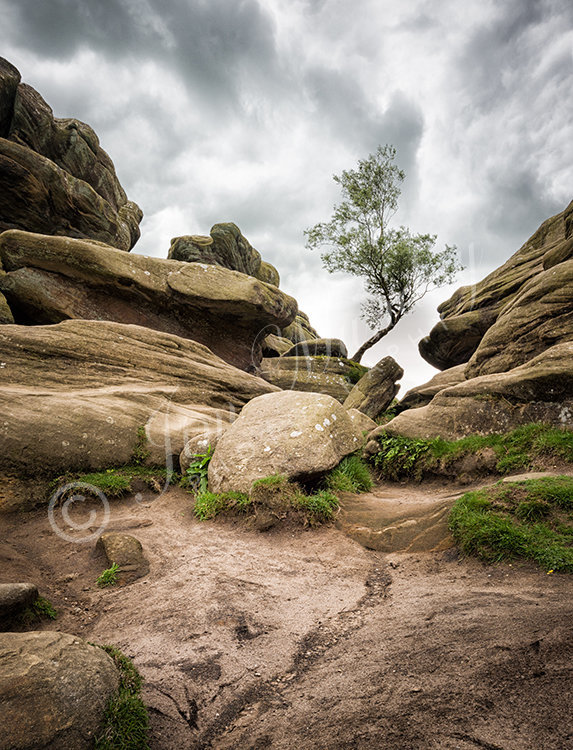 Tree at Brimham Rocks