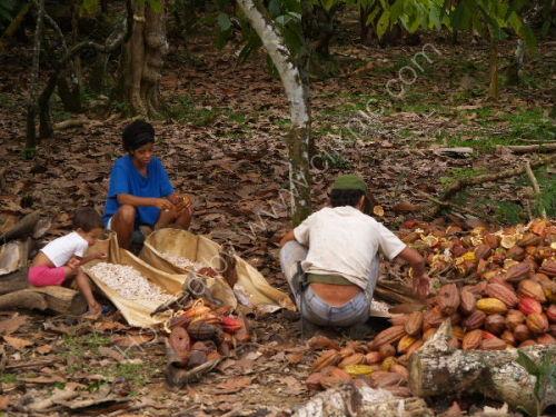 Cocoa Bean harvest