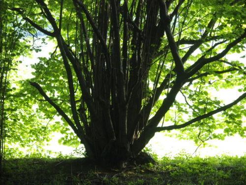 Coppiced Tree, Sandridge