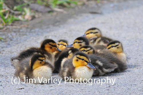Duckling Huddle