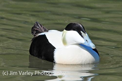Male Common Eider duck
