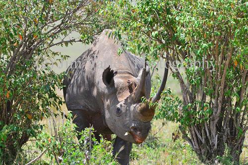 Male Black Rhino
