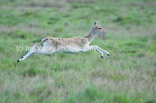 Juvenile Fallow Deer running