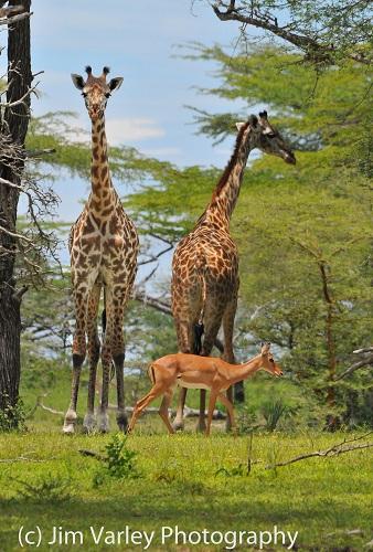 Giraffe and Impala