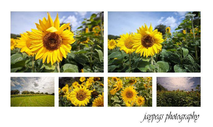 sunflowers montage