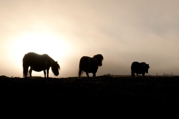 Ponies in the early morning mist