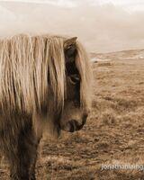 Shetland pony,
