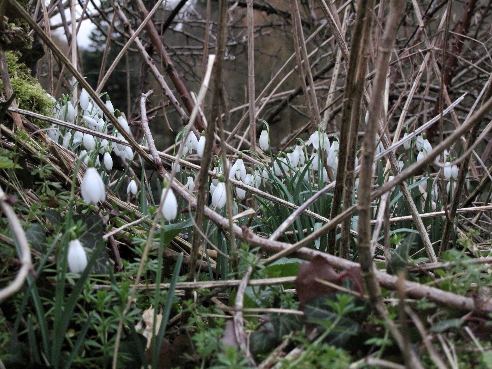 Snowdrops / 4