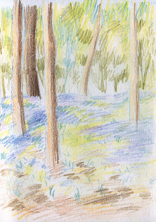 a coloured pencil sketch of bluebells in the woods
