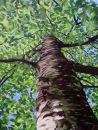 Nevilles Beech Tree