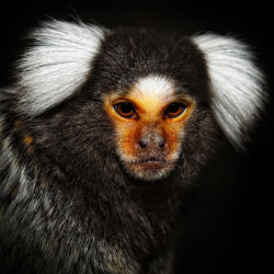 Mini the Marmoset